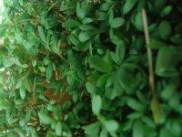 Foto Frische grüne Kresse