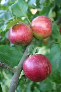 Foto Roter Apfel am Baum