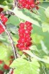 Bild Rote Johannisbeeren, Bild Johannisbeeren am Strauch, Bild Johannisbeerenstrauch,